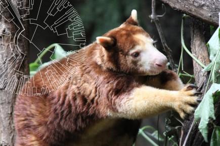 Tree Kangaroo and Phylogenetic Tree