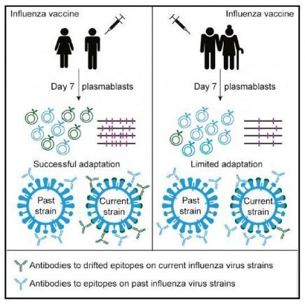 Influenza Vaccine Effectiveness in the Elderly (IMAGE)