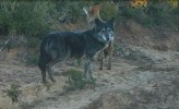 A Wolf and a Wolf-Dog Hybrid (1 of 2) (IMAGE)